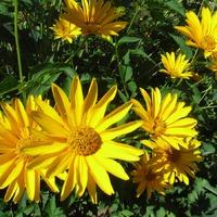 Маленькие солнышки живут в саду