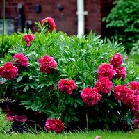 Как и когда пересаживать пионы после цветения?