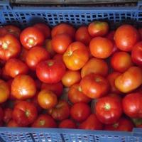 Результат урожая помидор Монгольский карлик.