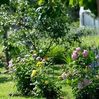 Мой прекрасный розовый сад (июль 2017)