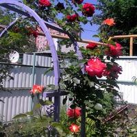 Мои красавицы розы