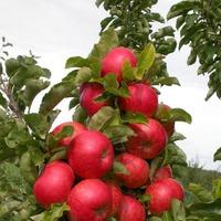 Особенности колоновидных яблонь и лучшие сорта