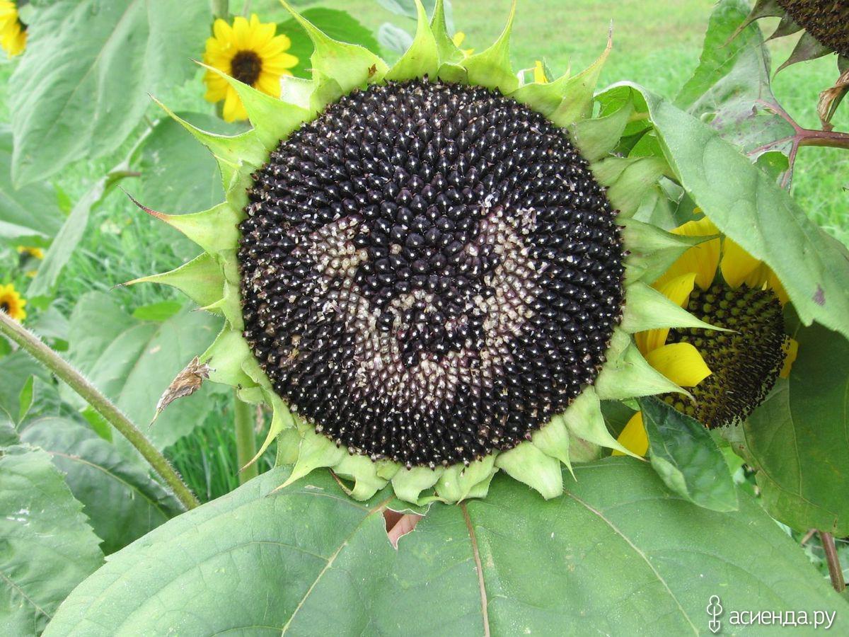 подсолнух с черными зернами фото так живет