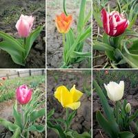 Мои тюльпаны!!! Вестники весны.