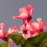 Как выращивать цикламены
