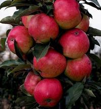 Посоветуйте яблоню.