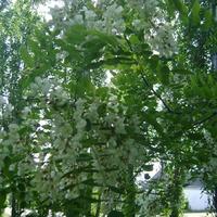 Белая акация - белый снегопад, Лепестков упавших белый аромат.