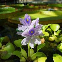 Растения для дачных водоемов и аквариумов