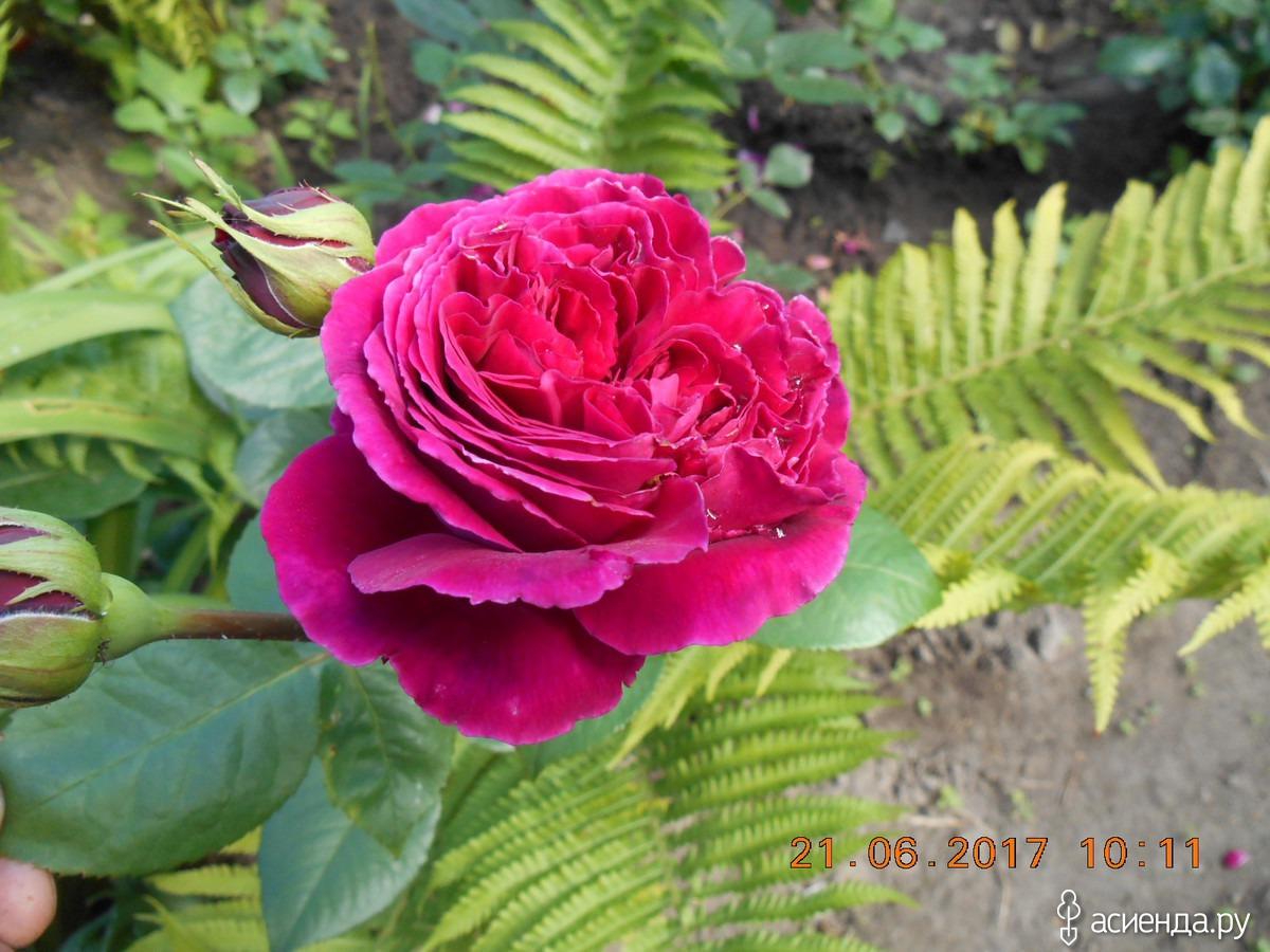также роза паваротти фото древнейших