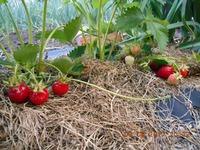 Земляника садовая Клери, и не только