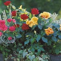 Розы в миниатюре