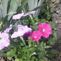 Цветы. Конец июня 2017