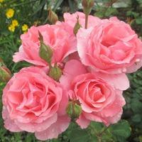 Мои красавицы цветы (в стихах)