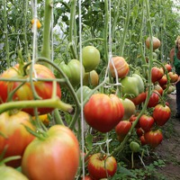 50 лучших сортов томатов по мнению коллекционера