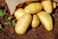 Картофель из семян: а вы пробовали оздоровить