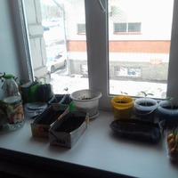 Мой мини-огород на подоконнике