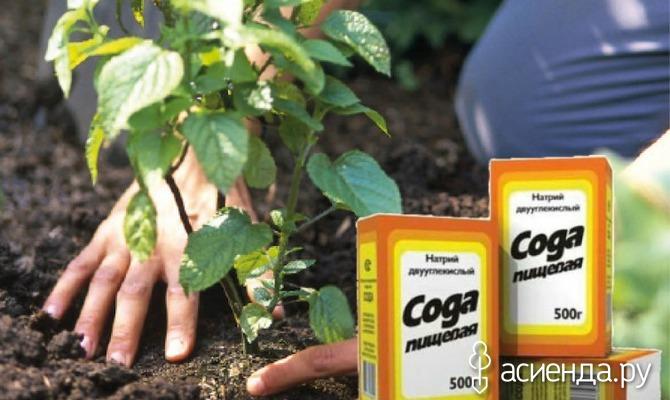 Пищевая сода в саду