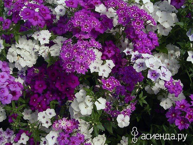 Однолетние флоксы - личный опыт выращивания, красивая 37