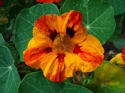 20 причин, чтобы выращивать настурцию