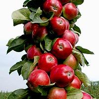 Колоновидные сорта яблонь. У кого есть опыт выращивания? Поделитесь!!!