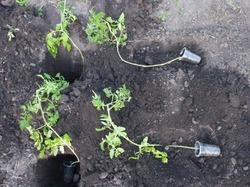 Как быть с переросшей рассадой?