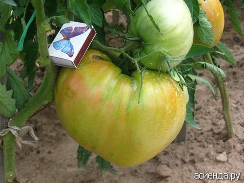 помидоры сорт ирина фото