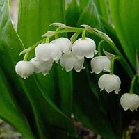 Многолетние тенелюбивые цветы