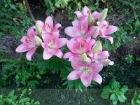 Помогите определить сорт лилии.