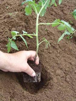 Средняя полоса - кто высадил помидоры в теплицу? Как спасать от морозов? (дополнила)