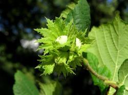 Лесной орех в вашем саду