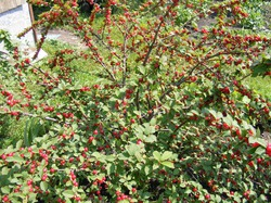 Вишня войлочная: особенности выращивания