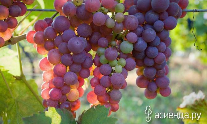 Краснуха винограда: выявить и устранить