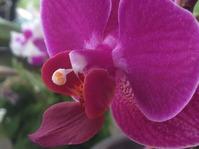 Опыление орхидей для получения созревших семян.