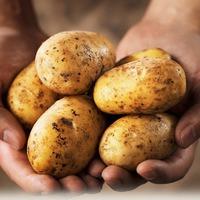 Картофель хлебу подспорье