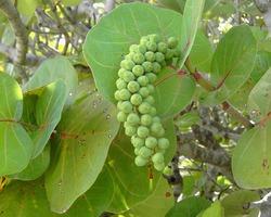 Виноград морской