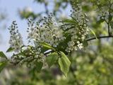 Дерево чермуха вишня