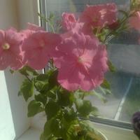 Вот такие цветы на окне - когда ж высаживать будем???