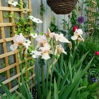 Весна 2017 в моем саду. Конец мая.