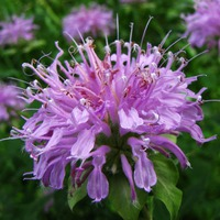 Бергамот – что это за растение