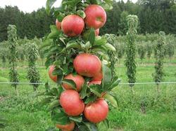 Как вырастить колоновидную яблоню