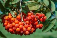 Польза рябины и заготовка плодов