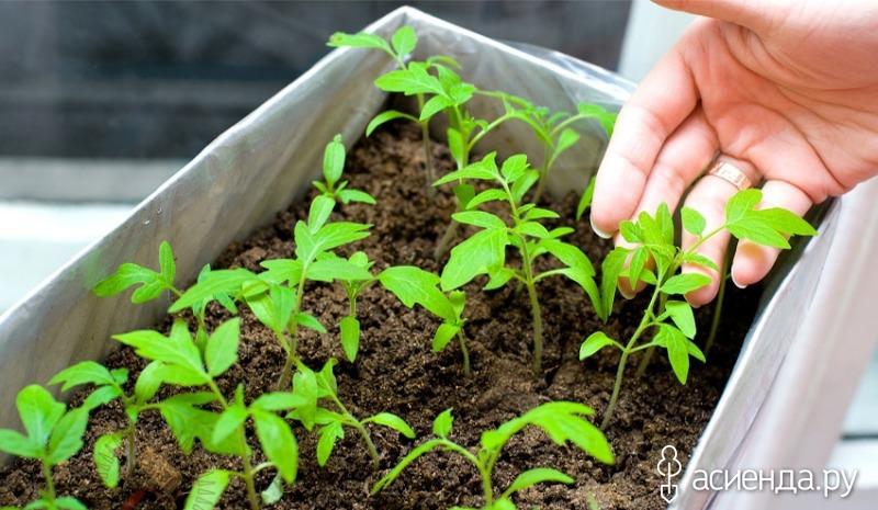 как ухаживать за рассадой помидор Согласна, тем более