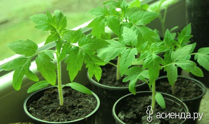 Мифы о выращивании рассады томатов для теплиц