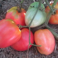 Про помидоры (часть 7)