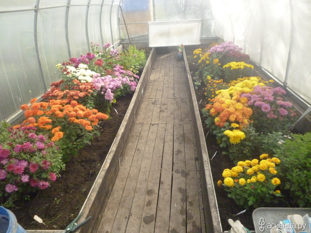 как сохранить садовые хризантемы зимой