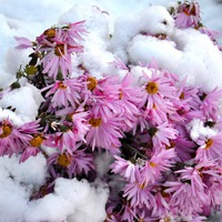 Как подготовить многолетники к зиме?