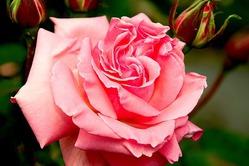 Какие розы подойдут для открытого грунта?