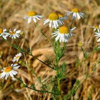 Подзимние и зимние посевы лекарственных цветов