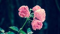 Особенности укоренения черенков роз осенью