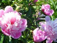 Пионы: ухаживаем за растениями по календарю